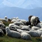 Вівчар і повітруля