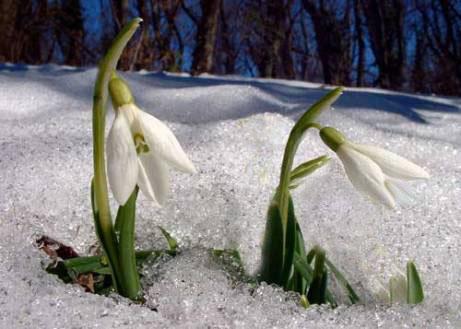 Підсніжники і Рання Весна