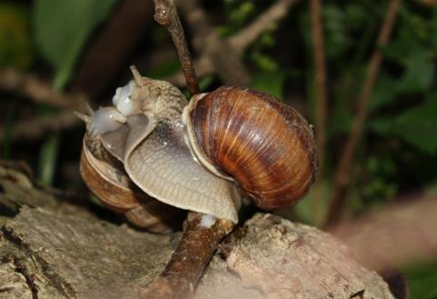 Поцілунок равликів