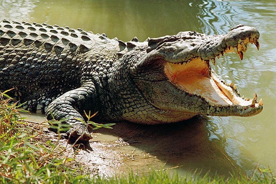 У череві крокодила