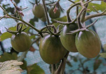 Літо і помідори
